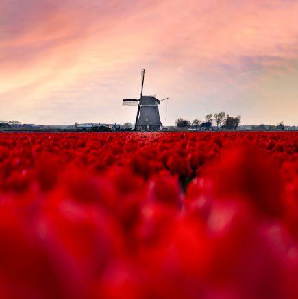 Tulpen, Schagen, Netherlands.